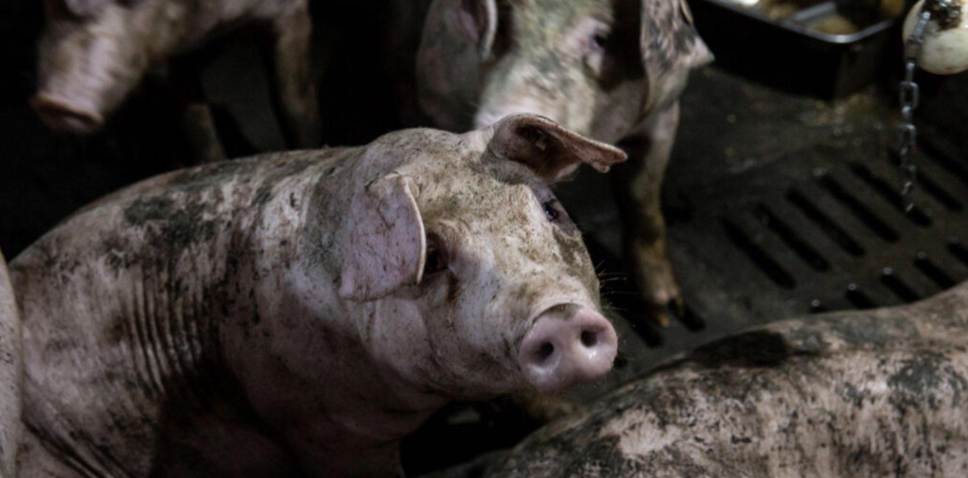 China, Cerdos, Alimentos, Gripe porcina