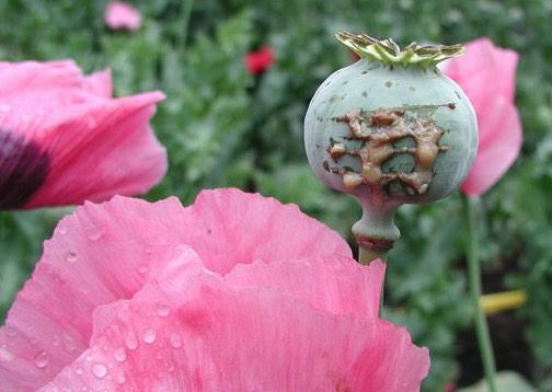 Producción de opio en Colombia, Afganistán, Estados Unidos