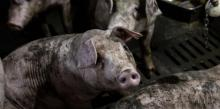 China, Cerdos, Gripe porcina africana